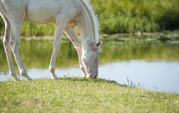 Perlino akhal-teke foal Royalty Free Stock Image