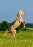 Perlino akhal-teke horse rearing Stock Image
