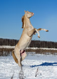 Perlino akhal-teke horse rearing in snow field Royalty Free Stock Image