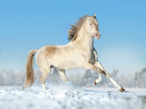 Perlino akhal-teke horse running free on the winter field Royalty Free Stock Images