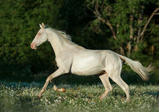Perlino akhal-teke horse runs free in summer field. The perlino akhal-teke horse runs free in summer field Royalty Free Stock Photo