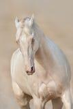 Perlino akhal-teke paard in motie stock fotografie