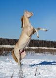 Perlino-akhal-teke Pferd, das auf dem Schneegebiet aufrichtet Lizenzfreies Stockbild