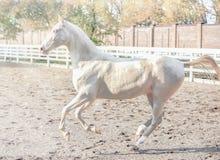 Akhal-Teke horse portrait. royalty free stock photography