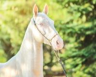 Akhal-Teke horse portrait. royalty free stock image
