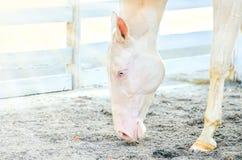 Akhal-Teke horse portrait. stock photos