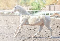 Akhal-Teke horse portrait. stock photo