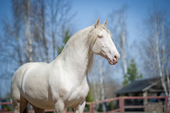 Perlino lusitano horse with blue sky background Royalty Free Stock Images