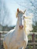 Perlino lusitano koń z niebieskiego nieba tłem Zdjęcia Royalty Free