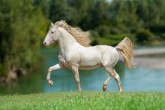 Perlino lusitanohäst med bakgrund för blå himmel Arkivfoton