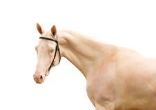 Perlino Pferd auf Weiß Stockfotos