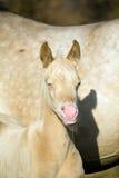 Perlino quarter horse Stock Photos