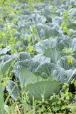 A field of Cabbage growing. stock photos