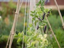 Permaculturetuin met bonen en bloemen stock fotografie