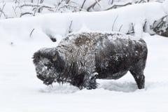 Permafrost Buffalo in Yellowstone National Park. Wintertime in Yellowstone National Park with Buffalo in Permafrost Conditions Stock Photography