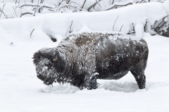 Permafrostbuffel i den Yellowstone nationalparken Arkivbild