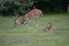 Permanecer ciervos en Sri Lanka mal y vaca joven fotos de archivo