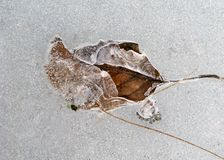 Permanency touch 2. Frozen leaf with good ice lice over it Stock Photography