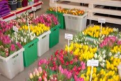 Permanent Ryssland - mars 04 2016: Härliga blommatulpan shoppar in Arkivfoton
