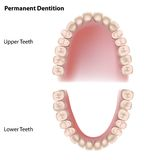 Permanent teeth. Or adult dentition, eps8 Stock Photos