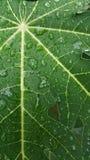 Permesso della papaia con goccia di pioggia, struttura del fondo Fotografia Stock