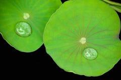 Permesso di Lotus Fotografia Stock