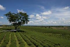Permesso di tè verde Immagine Stock Libera da Diritti