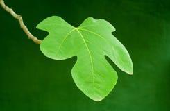 permesso di verde del fico fotografie stock