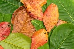 Permesso fresco e secco della Indiano-mandorla Fotografie Stock