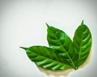 Permesso fresco verde su fondo bianco Fotografia Stock Libera da Diritti