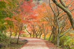 Permesso rosso del fondo di autunno con sakura in Obara Nagoya Giappone Fotografia Stock