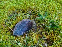 Permesso secco su erba verde fotografie stock libere da diritti