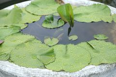 Permesso verde del loto con la gocciolina su in bacino del cemento Immagini Stock