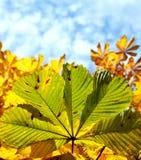 Permesso verde dell'albero di castagna Immagine Stock