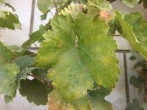 Permesso verde dell'uva fotografia stock libera da diritti