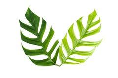 Permesso verde della canna da zucchero isolato sopra fondo bianco Fotografia Stock Libera da Diritti