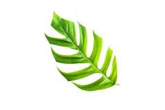 Permesso verde della canna da zucchero isolato sopra fondo bianco Immagine Stock Libera da Diritti