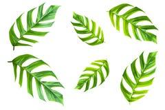 Permesso verde della canna da zucchero isolato sopra fondo bianco con Fotografie Stock