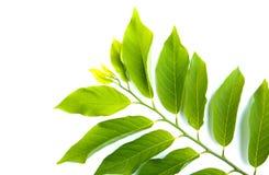 Permesso verde isolato sopra fondo bianco Fotografia Stock Libera da Diritti