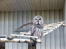 Permetta prego che voli Grande gufo grigio con piume enigmatiche Uccello sveglio del gufo con i grandi occhi e becco del falco Gu immagini stock
