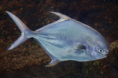 Permit (Trachinotus falcatus). Royalty Free Stock Photography