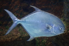 Permit (Trachinotus falcatus). Stock Photos