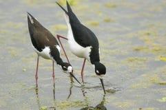 pernas de pau BlaBlack-necked (mexicanus do Himantopus) Fotos de Stock