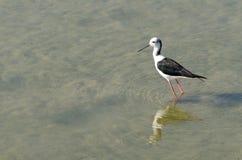 pernas de pau Preto-voado Imagem de Stock