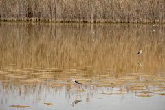 pernas de pau Preto-voado em Al Wathba Wetland Reserve Abu Dhabi, UAE foto de stock