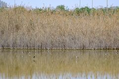 pernas de pau Preto-voado em Al Wathba Wetland Reserve Abu Dhabi, UAE fotos de stock royalty free