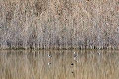 pernas de pau Preto-voado em Al Wathba Wetland Reserve Abu Dhabi, UAE imagem de stock