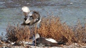 pernas de pau Preto-voado na lagoa vídeos de arquivo