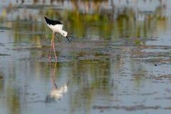 pernas de pau Preto-voado que anda e que encontra o alimento na área intertidal litoral foto de stock