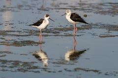 pernas de pau Preto-voado que anda e que encontra o alimento na área intertidal litoral fotografia de stock